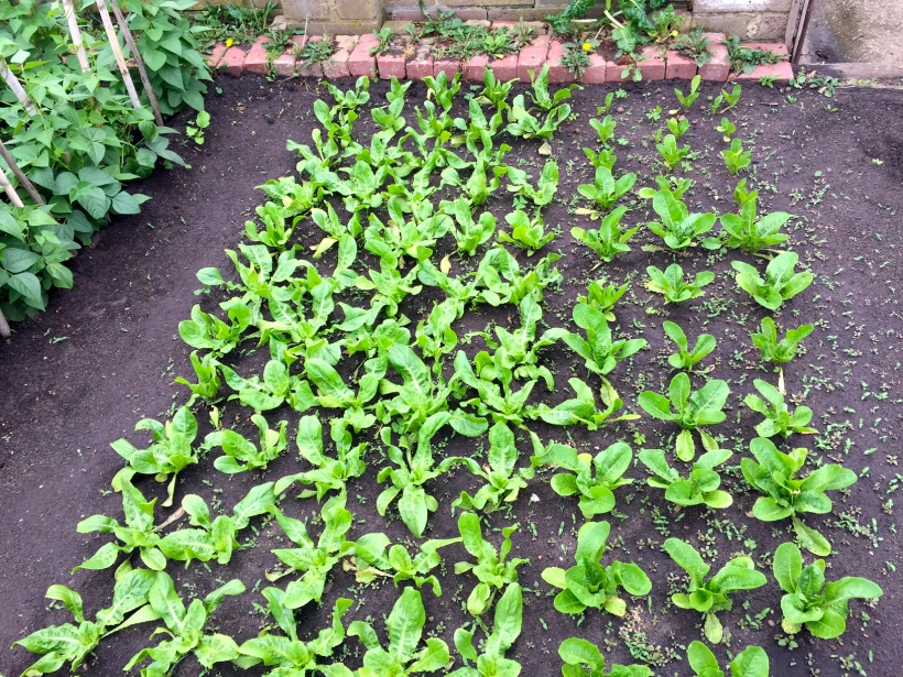 One side of the bed is a cos type lettuce, the other is a scariola, more suitable for cooking.